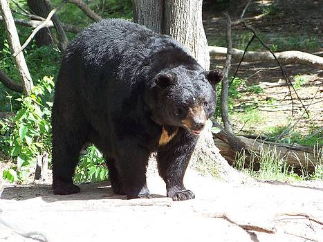 Male Black Bear 7 by Jennifer  King