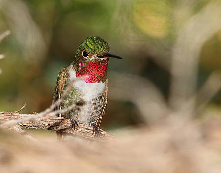 Male Broad-tailed Hummingbird by Old Pueblo Photography