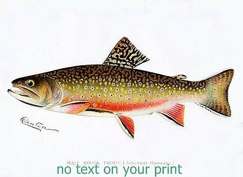 Male Brook Trout by Sagarin