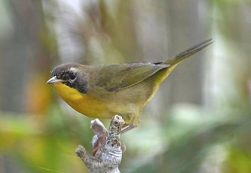 Male Common Yellowthroat by Lorelei Galardi