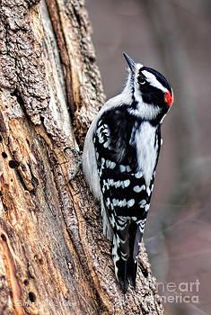 Barbara McMahon - Male Downy Woodpecker