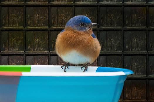Male Eastern Bluebird by Robert L Jackson