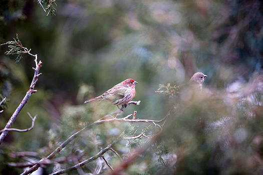 Male-Female House Finch by Floyd Tillery