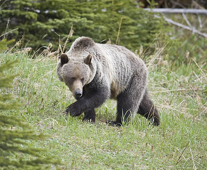 Male grizzly in Kananaskis by Richard Berry