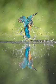 Male Kingfisher by Andy Astbury