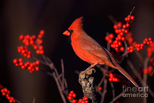 Marie Read - Male Northern Cardinal
