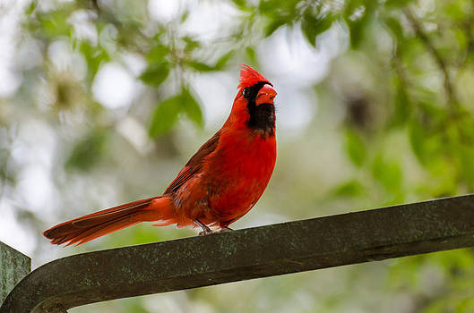 Male Northern Cardinal by Maureen E Ritter