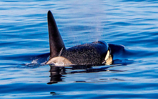 Randy Straka - Male Orca 3
