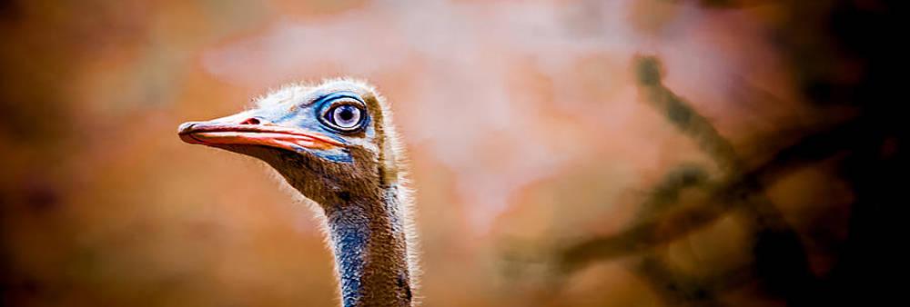 Male Ostrich by Jim DeLillo