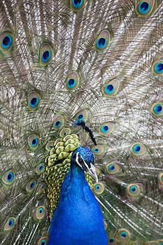 Male Peacock by Gillian Dernie