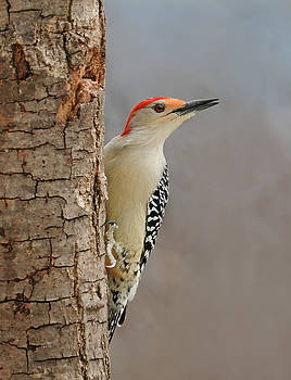 Lara Ellis - Male Redbellied Woodpecker 1