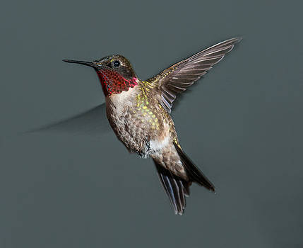 Lara Ellis - Male Ruby-Throated Hummingbird 1