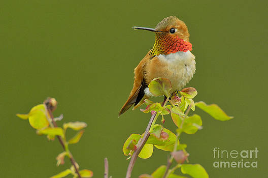 Tom and Pat Leeson - Male Rufous Hummingbird