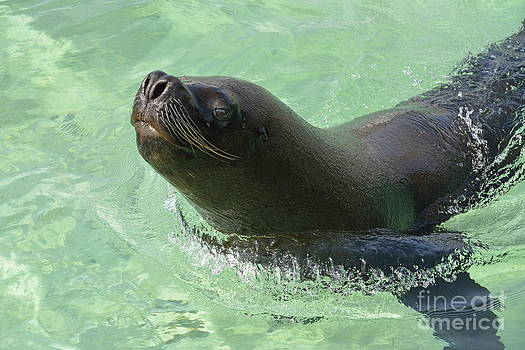 Male sea lion swimming in ocean by Sami Sarkis
