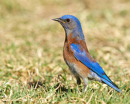 Male Western Bluebird by Steve Kaye