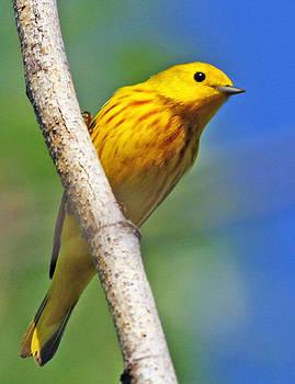 Dee Carpenter - Male Yellow Warbler