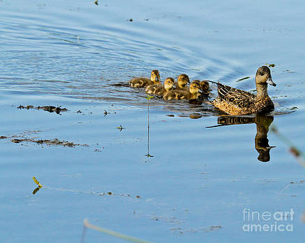 Mallard and Ducklings by Terry Cotton