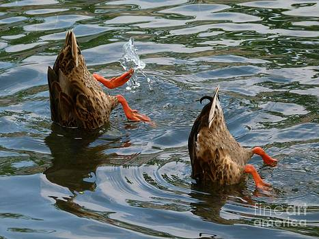 Christine Stack - Mallard Duck Butts