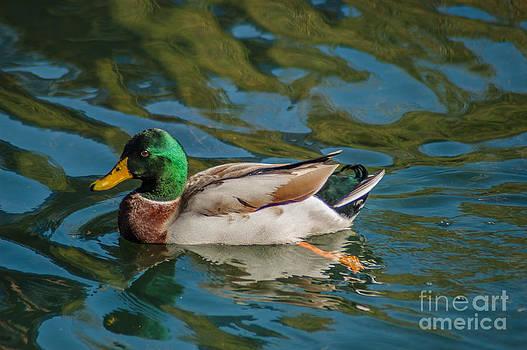 Dale Powell - Mallard Duck