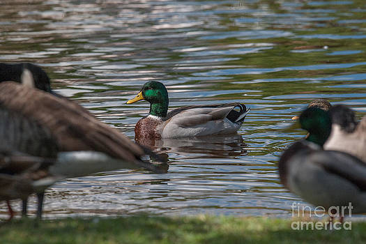 Dale Powell - Mallard Duck Harmony