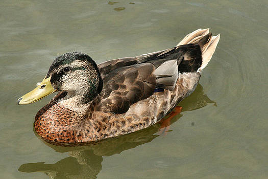 Mallard Duck Series #1 by Sharon McLain