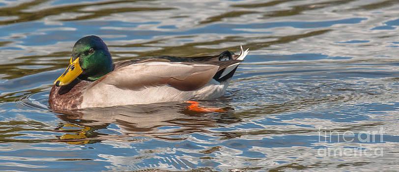 Dale Powell - Mallard Duck Slide