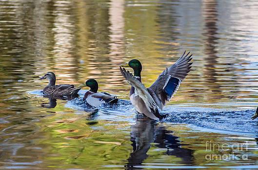 Dale Powell - Mallard Duck Strut