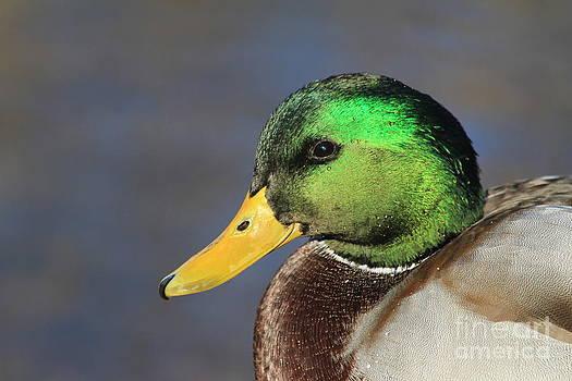 Teresa Zieba - Mallard Duck Up Close