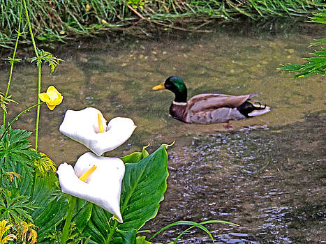 Mallard Duck with Calla Lilies by Marilyn Holkham