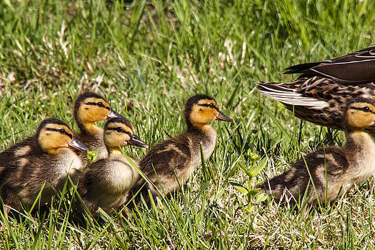 Mallard Ducklings by Jill Bell