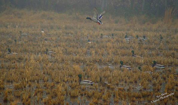 Mallard Ducks 2 by Michelle Cawthon