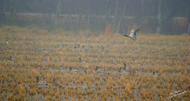 Mallard ducks 3 by Michelle Cawthon