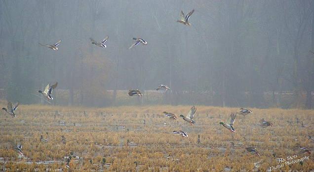 Mallard Ducks 5 by Michelle Cawthon