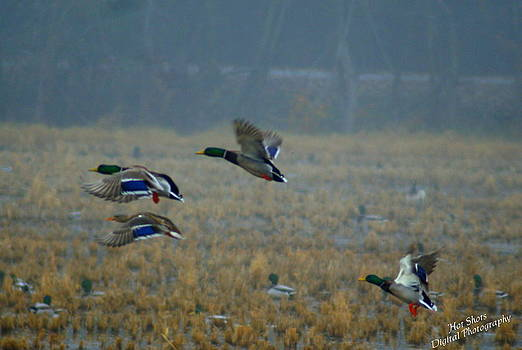 Mallard ducks 6 by Michelle Cawthon