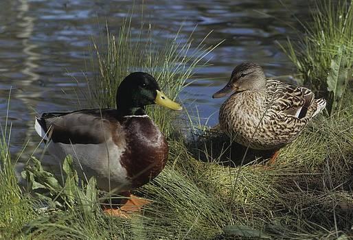 Don Kreuter - Mallard Duck Pair