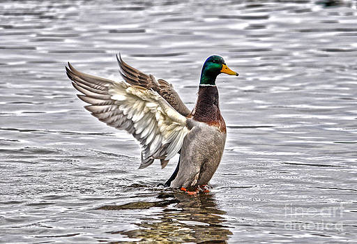 Mallard Morning by Skye Ryan-Evans