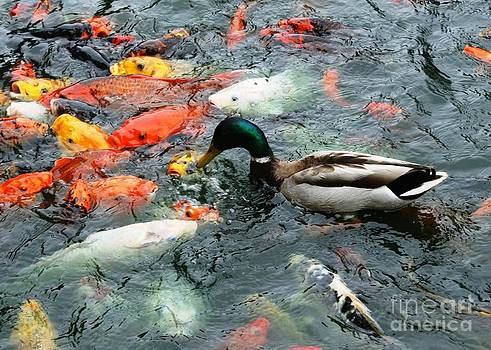 Mallard playing with the koi by Bren Thompson