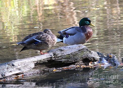 Mallards on a log by Lori Tordsen