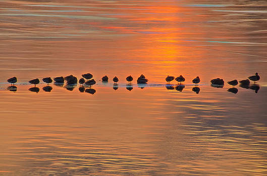 Mallards on Ice Edge During Sunset by Beth Sawickie