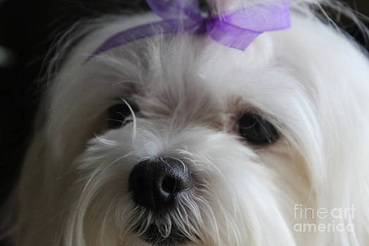 Maltese Close-Up 2 by Sheri Dean