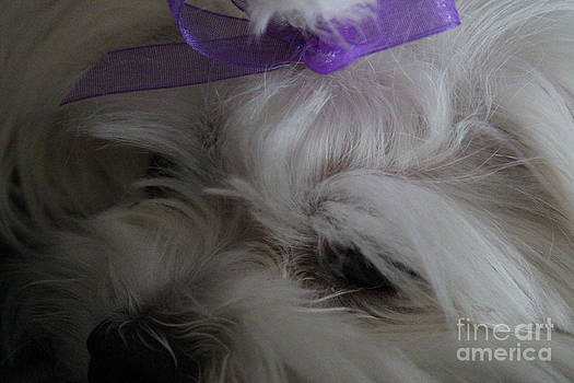 Maltese Close-Up 3 by Sheri Dean