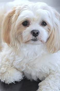 Maltese Puppy Portrait by Lisa  DiFruscio