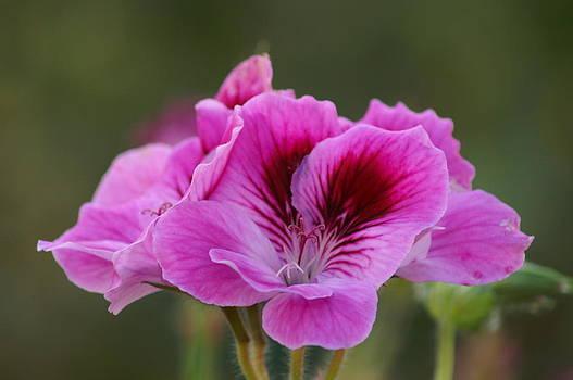 Malva-Deep Pink-In My Garden by Thomas D McManus