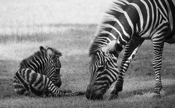 Paulette Thomas - Mama and Baby Zebra - Black and White