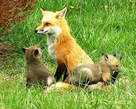 Mama fox and her kits by Bren Thompson