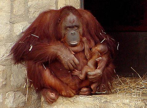 Gary Gingrich Galleries - Mama N Baby Orangutan - 54