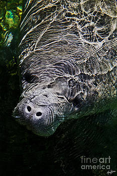 Manatee 01 by Melissa Sherbon