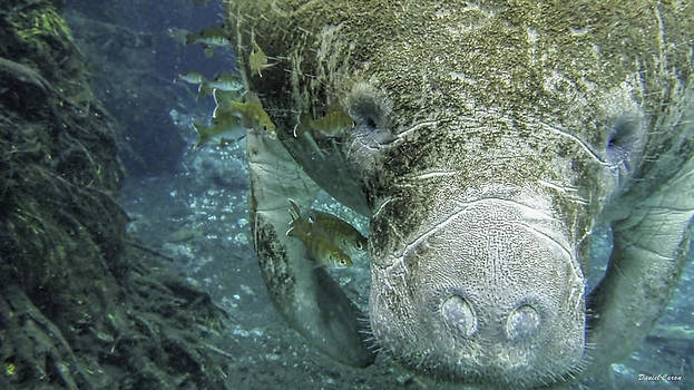Manatee Close-Up by Daniel Caron