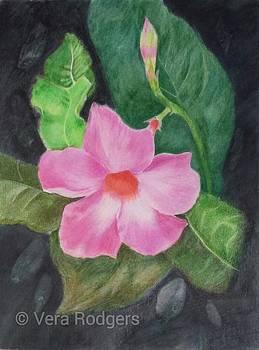 Mandevilla blossom by Vera Rodgers