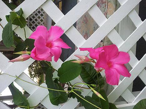 Mandevilla Pink by Bernadette Amedee